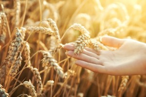 Prison Term For PVP Infringement By Alleged Wheat Bandit