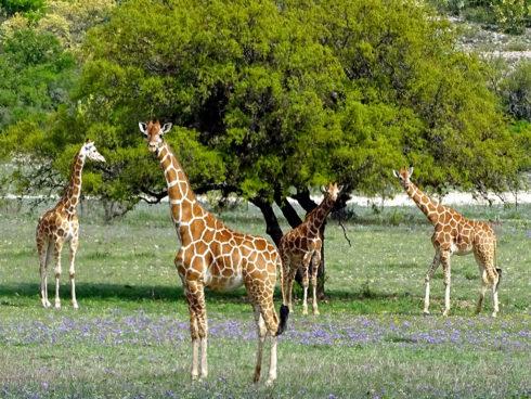 Giraffes2 E1494454025352 1